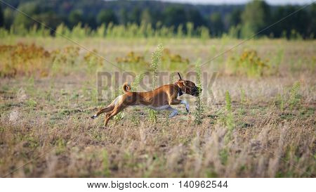 Coursing. Basenji dog runs across the field pursuing bait. Summer sunny evening stock photo