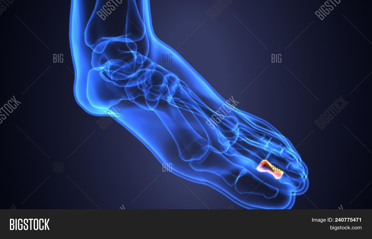 3d Illustration Of Foot Anatomy Bones Foot Bone Metatarsi