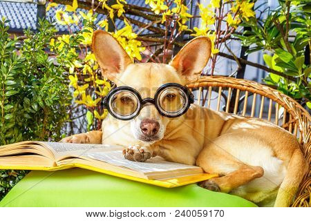 podenco dog reading his favorite book,surrounded by green plants , relaxing and sitting on a lounger or deck chair outside stock photo