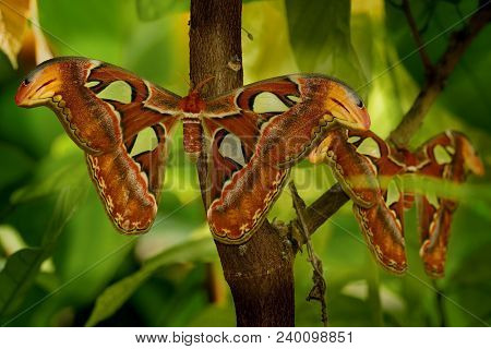 The Atlas moth (Attacus atlas) sitting on the branch with leaves around them. Beautiful butterfly with green stock photo