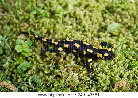 Fire salamander (Salamandra salamandra) in a wild nature stock photo