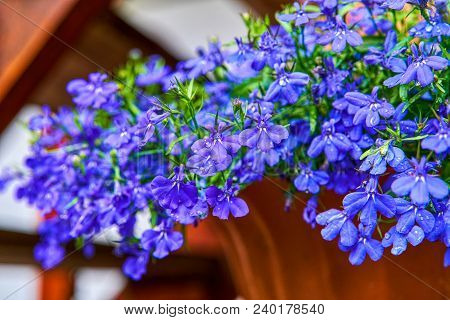 Blue violet Lobelia erinus Sapphire flowers a popular edging plant in gardens for hanging baskets and window boxes also known as Edging Lobelia, Garden Lobelia. stock photo