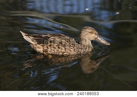 Northern shoveler (Anas clypeata), also known as the northern shoveller.  stock photo