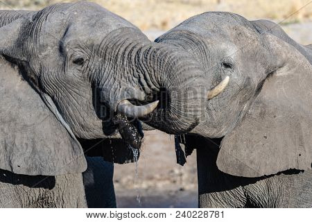 Couple of African Elephant at waterhole. Wildlife Safari in the Chobe National Park, travel destination in Botswana, Africa. stock photo