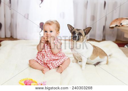 Little funny Caucasian girl the child sits at home on the floor on a light carpet with the best friend of the half-breed dog with spotty color and short hair and funny big ears. Baby is eating cookies and feeding a pet. stock photo
