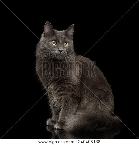Adorable Grey Mixed-breed Cat with Yellow eyes Sitting on Isolated Black Background stock photo