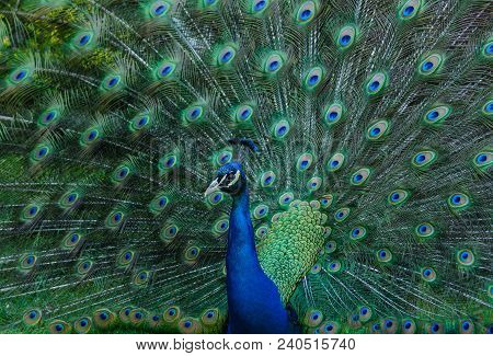 The Indian peafowl or blue peafowl (Pavo cristatus), commonly known as a Peacock, is a large and brightly coloured bird, South Asia, introduced in many other parts of the world. stock photo