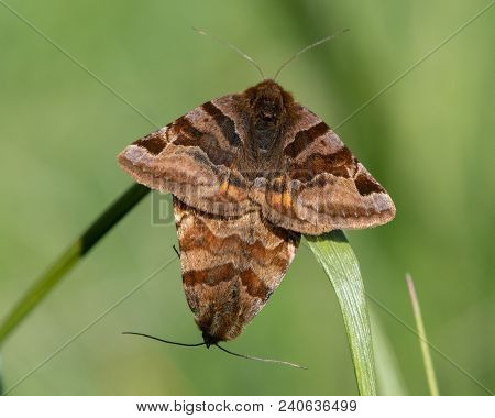 Burnet companion (Euclidia glyphica) moths in cop. Pair of moths in the family Noctuidae mating, showing yellow hindwings stock photo