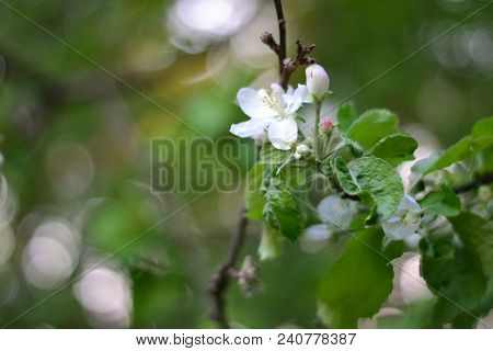 Abstract composition for designers with bright apple inflorescence on the green leafs stock photo
