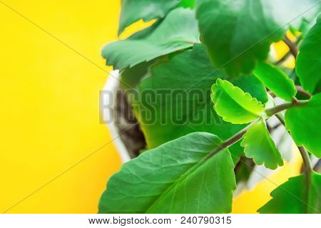 Kalanchoe Pinnata in White Pot on Bright Yellow Background. Sunlight. Fresh Vibrant Green Leaves. High Resolution Banner Poster. Room Plants Interior Decoration Greenery Concept. Minimalist Style stock photo