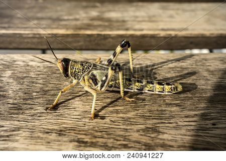 Young wingless Egyptian locust sitting on a wooden table. stock photo