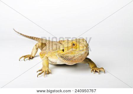 Agama. Bearded dragon isolated on bright background. Pogona vitticeps. stock photo