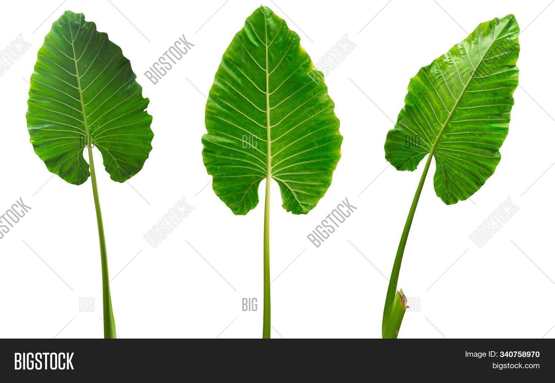 abstract,arrangement,art,backdrop,banana,beautiful-leaf,beauty,botanical,branch,bush,clipping,closeup-leaf,color,dark,decoration,decorative,design,exotic,fern,flora,floral,flower,foliage,forest,frame,garden,green-leaf,isolated,jungle,leaf,leaf-background,leaf-pattern,leaf-texture,leaves,light,natural,nature-leaf,palm,path,plant,spa,spring,summer,tree,tropic,tropical,white