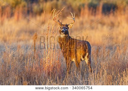 Wildlife of Colorado. Wild Deer in Their Natural Environment in Colorado. White-tailed Buck stock photo