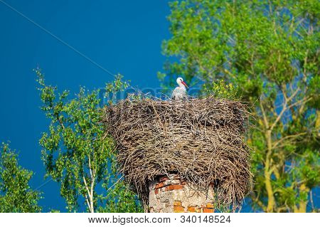 The stork sits in a nest in spring against the backdrop of green trees and blue sky. The nest is on a red brick chimney of an abandoned house. Copy space stock photo