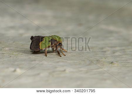 Parasa Hilaris, Moth, Jawhar at Thane in Maharashtra, India stock photo