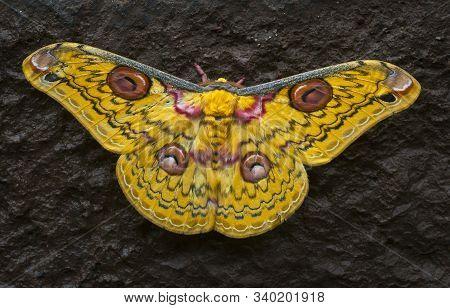 Golden Emperor Moth, Loepa katinka at Bhandardara in Maharashtra, India stock photo