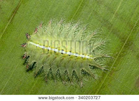 Limacodid moth caterpillar on a leaf at Mumbai, Maharashtra, India stock photo