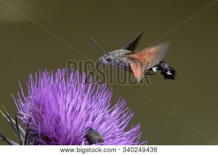 hummingbird hawk-moth hovering over flower (Macroglossum stellatarum) stock photo