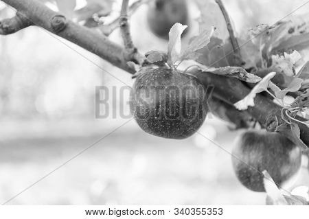 Ripe beauty. Ripe apples dangle on tree. Red apples on branch. Ripe season for fruits. Harvest time. Ready to eat. Mellow and ripe. stock photo