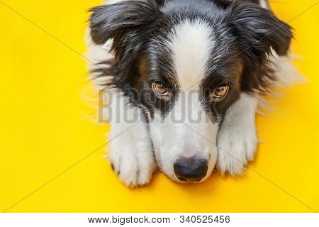 Funny studio portrait of cute smilling puppy dog border collie isolated on yellow background. New lovely member of family little dog gazing and waiting for reward. Pet care and animals concept. stock photo