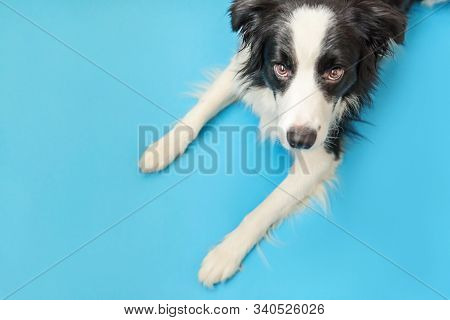 Funny studio portrait of cute smilling puppy dog border collie isolated on blue background. New lovely member of family little dog gazing and waiting for reward. Pet care and animals concept. stock photo