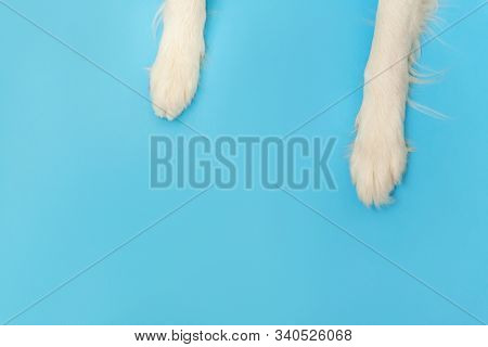 Funny puppy dog border collie paws close up isolated on blue background. Pet care and animals concept. Dog foot leg overhead top view. Flat lay copy space place for text stock photo