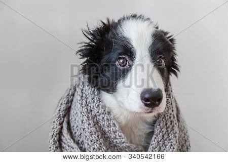 Funny studio portrait of cute smilling puppy dog border collie wearing warm clothes scarf around neck isolated on white background. Winter or autumn portrait of new lovely member of family little dog stock photo
