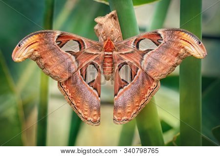 Atlas moth butterfly sleeping by day (Attacus atlas). Close-up. Unfocused background stock photo