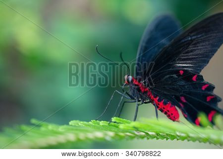 Scarlet mormon butterfly resting on a leaf (Papilio rumanzovia). Close-up. Defocused green background stock photo