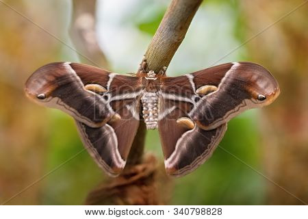 Atlas moth butterfly sleeping its environment by day (Attacus atlas). Close-up. Unfocused background stock photo