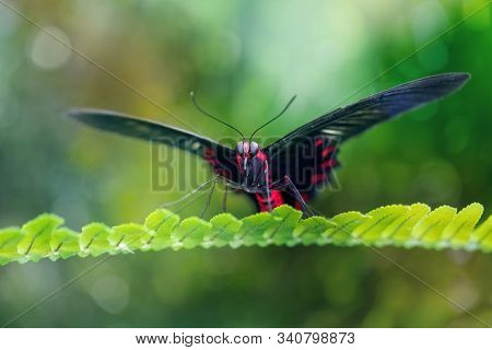 Scarlet mormon butterfly resting in a natural environment on a leaf (Papilio rumanzovia). Close-up. Blurred green background stock photo