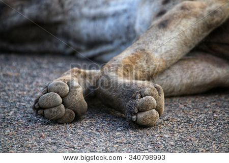 Paws of a hyena in Kruger National Park South Africa stock photo
