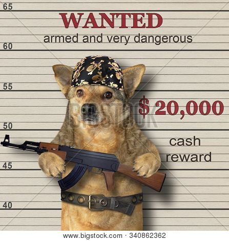 The beige dog gangster in a black bandana and a steel belt holds a machine gun Kalashnikov AK-47. He is wanted. Lineup background. stock photo