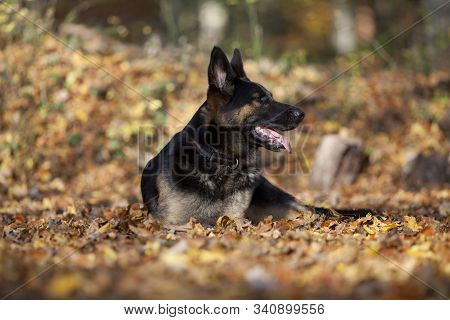 attentive german shepard dog portrait with autumn colored background stock photo