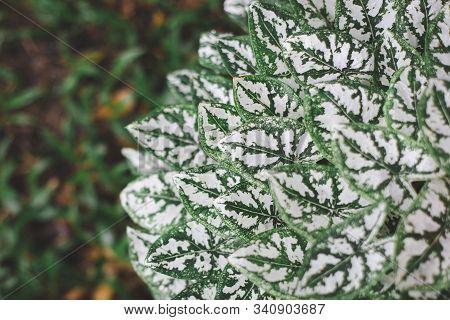 Beautiful Caladium bicolor close up texture background stock photo