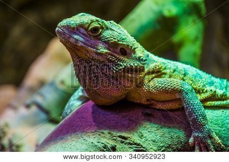 closeup of the face of a bearded dragon lizard, tropical reptile specie, popular terrarium pet in herpetoculture stock photo