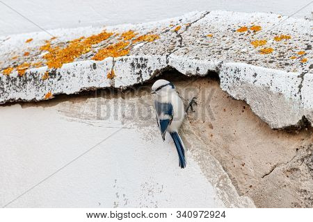 Azure tit cyanistes cyanus perched on old concrete wall. Cute rare white little songbird. Bird in wildlife. stock photo