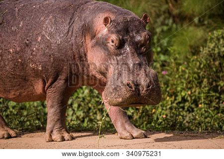 a huge Hippo walks along the road with public transport and chews grass. This is a rarity as hippos usually sit in the water during the day stock photo