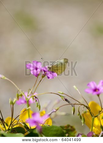 A Small Cabbage White (Pieris rapae) eating nector from a purple flower stock photo