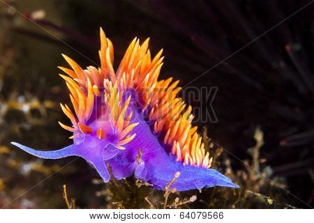 A Spanish shawl nudibranch snail, commonly found in the Channel Islands of California, crawls on branching cnidarians in search of food. stock photo