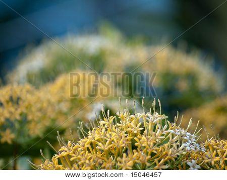Buah Karang Hutan blossom Scientific name: Tarenna odorata Family: Rubiaceae very beautiful and extremely fragrance stock photo
