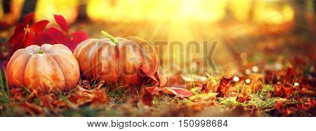 Autumn Thanksgiving day background. Halloween Pumpkins, patch. Beauty Holiday autumn festival concep