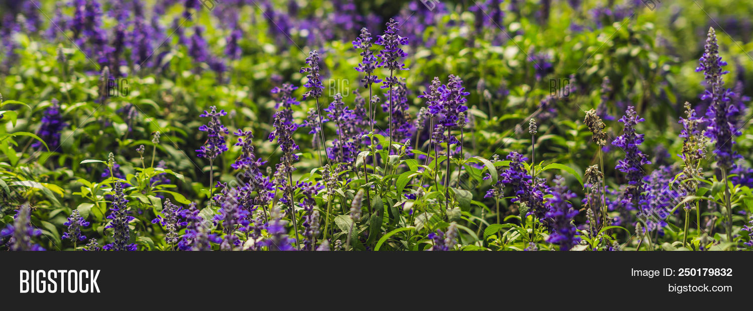 Lavender Flowers At Sunlight In A Soft Focus Pastel Colors And Blur Background Banner Long Format 250179832 Image Stock Photo