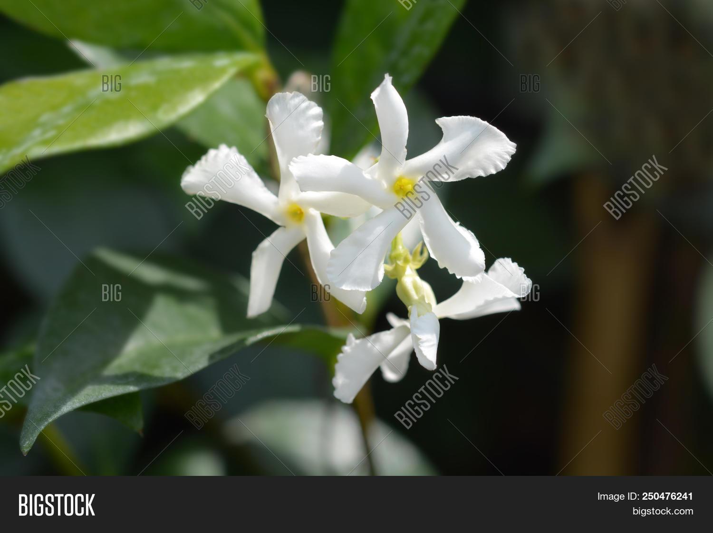 Star Jasmine White Flowers Latin Name Trachelospermum
