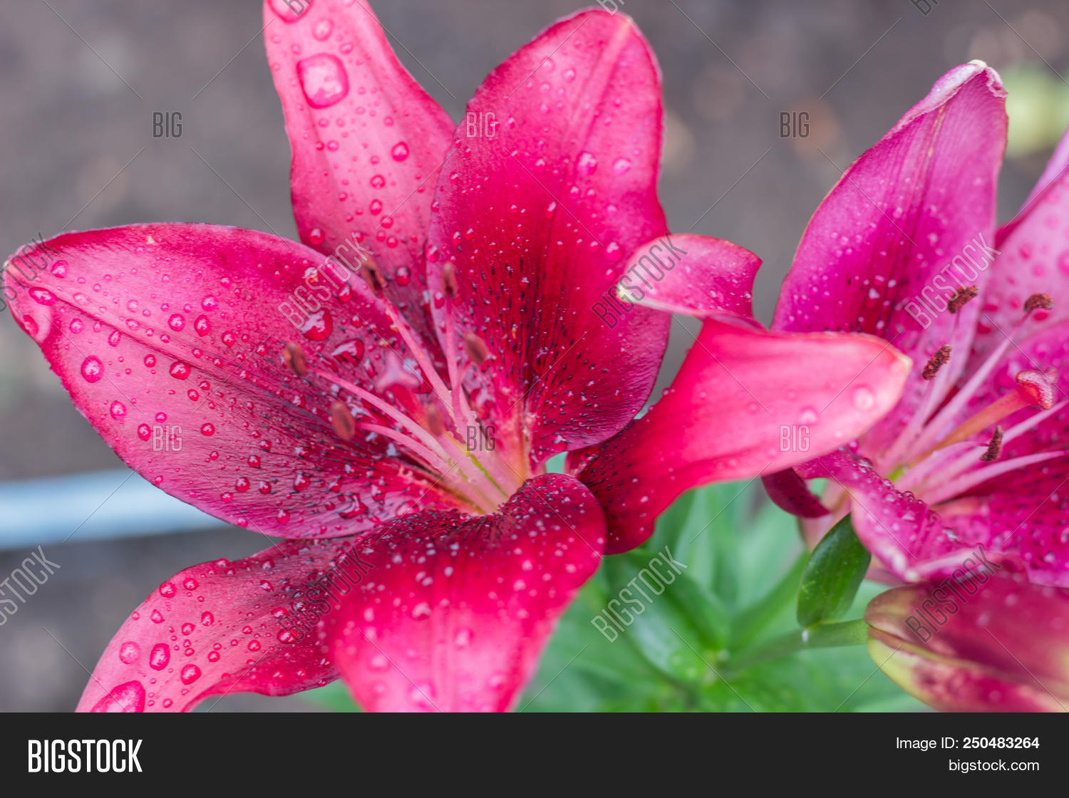 beautiful pink lily flowers in drops of water after a rain a background izmirmasajfo
