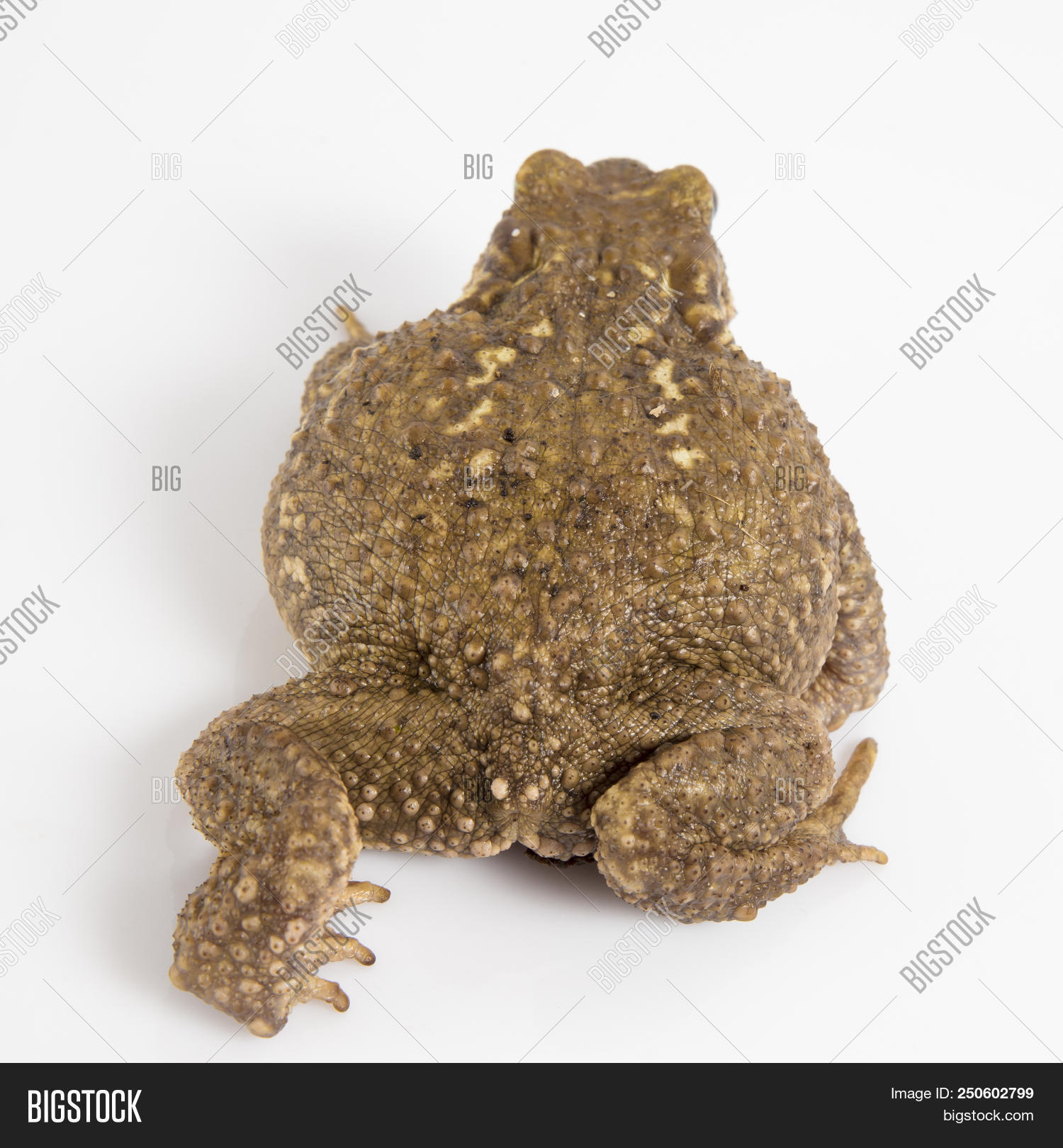amphibian,animal,background,brown,bufo,closeup,common,creature,cut-out,cutout,european,frog,full,horizontal,indoors,isolated,length,looking,nature,no,on,one,people,shot,side,species,studio,themes,toad,view,warts,white,wild,wildlife