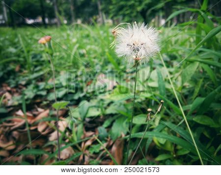 Small hairy dandelion flower with white fluffy petals and stuff on background mightylinksfo