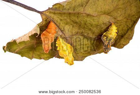 Three pupae of the Chinese windmill butterfly, Atrophaneura or Byasa alcinous, on a dry pipevine leaf isolated on white background. A young yellow pupa, a darken ready to emerge one and an empty shell stock photo