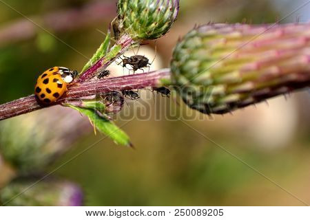 Ladybird on green leaf with many big aphids stock photo